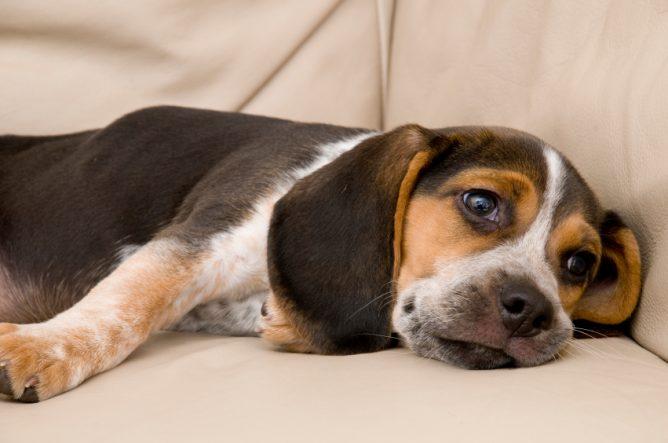 Bored-Beagle